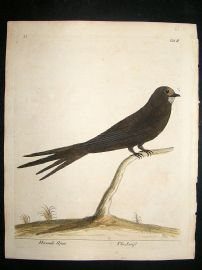 Albin: 1730's Hand Colored Bird Print. Swift